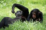 Chimpanzee, Mahale Mountains National Park, Tanzania