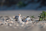 "Pictured: These little tern chicks look as if they are singing for their supper as they wait excitedly for their parent to return to them with food.  The chicks were photographed on West Dennis Beach in Cape Cod, Massachusetts USA, by freelance photographer, Sarah Devlin.<br /> <br /> Explaining what was happening Sarah said: ""Terns are able to distinguish the call of their parents among other terns in the colony.  These chicks were keeping warm under one parent when they heard the call of the other parent coming in with food.  They both jumped out from under the adult tern and began jumping about flapping their wings and looking to the sky with excitement!""  <br /> <br /> Sarah added: ""To me these images represent pure joy and innocence.  These chicks are a reminder to find delight in life's simple pleasures.""<br /> <br /> Please byline: Sarah Devlin/Solent News<br /> <br /> © Sarah Devlin/Solent News & Photo Agency<br /> UK +44 (0) 2380 458800"