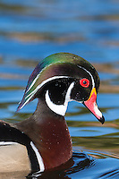 Portrait of a Wood Duck (Aix sponsa) drake (male) at Santee Lakes Regional Preserve, Santee, California