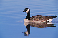 Canada Goose, Branta canadensis, adult, Bosque del Apache National Wildlife Refuge , New Mexico, USA, December 2003