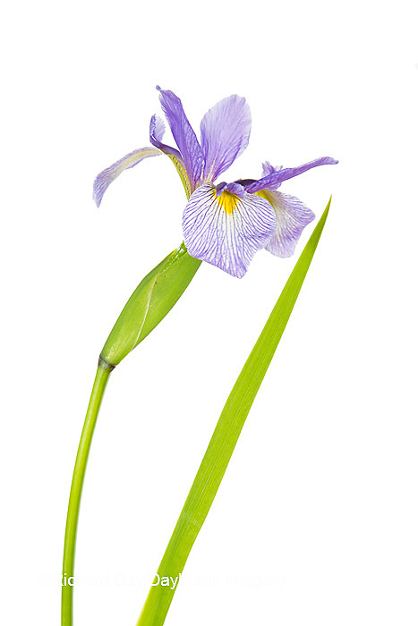 30099-00112 Blue Flag Iris (Iris versicolor) with white background, Marion Co., IL
