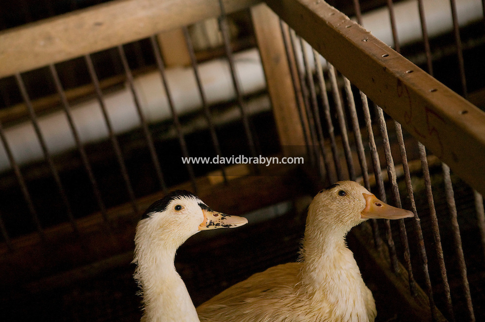 Ducks wait to be force-fed in pens at the Hudson Valley Foie Gras farm in Ferndale, USA, 16 March 2006.