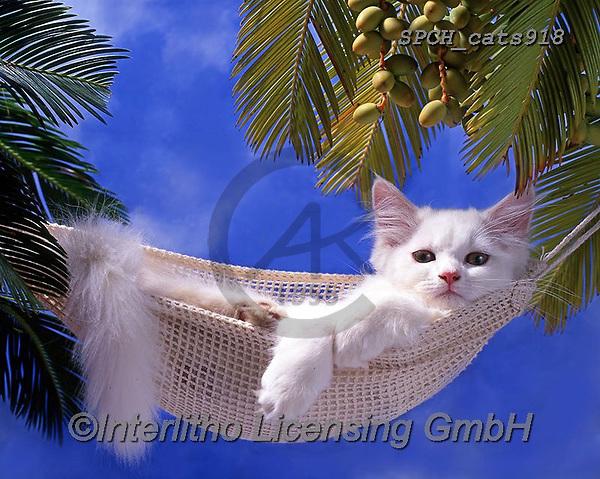 Xavier, ANIMALS, REALISTISCHE TIERE, ANIMALES REALISTICOS, cats, photos+++++,SPCHCATS918,#a#, EVERYDAY