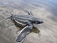 leatherback sea turtle, Dermochelys coriacea, hatchling, heading to the ocean on beach, Dominica, Windward Islands, Lesser Antilles aka Caribbees, West Indies, Caribbean Sea, Atlantic Ocean