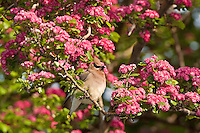 Cedar Waxwing feeding in Hawthorn tree, Oregon