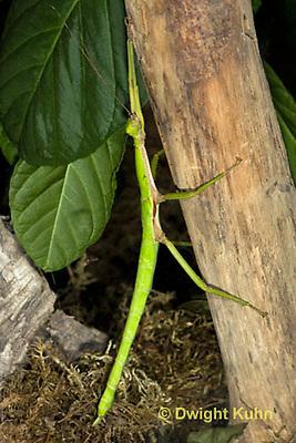 OR07-572z  Jamaica Stick-Insect, Aplopus jamaicensis, Jamaica