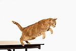 Ginger Cat Jumping (Ronnie)