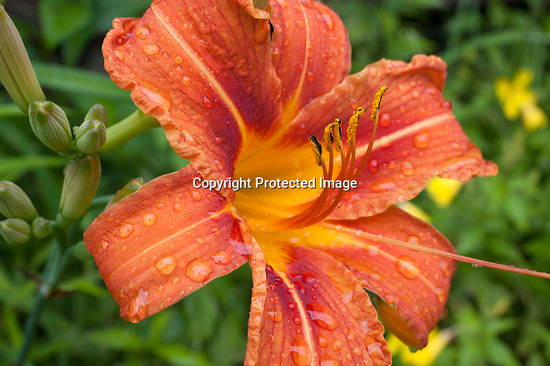 Day Lily Blossom