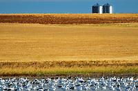 Snow geese and grain bins in autumn<br /> Beechy<br /> Saskatchewan<br /> Canada