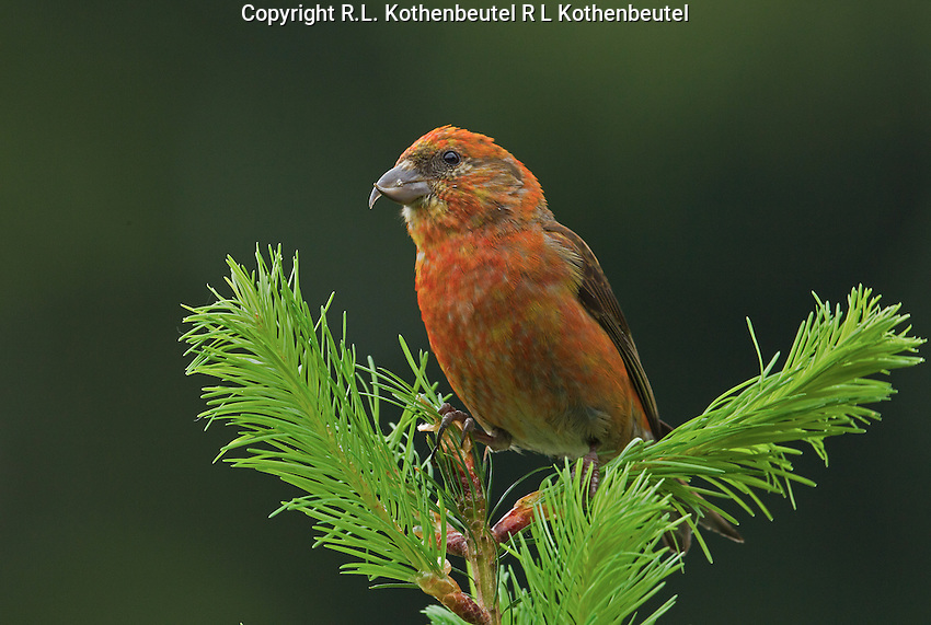 Red crossbill (Loxia curvirostra) adult male perched at the top of a Douglas fir sapling. This one of the more colorful males I have seen.<br />