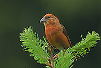 Red crossbill (Loxia curvirostra) adult male perched at the top of a Douglas fir sapling. This one of the more colorful males I have seen.<br /> Woodinville, King County, Washington State<br /> 6/2/2012