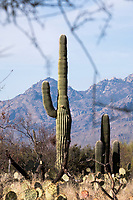 Engelman's prickly pear cactus and Saguaro cactus stand in the Cactus Forest area of Saguaro National Park (Rincon Mountain District) near Tucson, Arizona, USA.