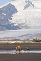 Carol and her spring cub arrive to dig for clams. Kodiak grizzly bear (Ursus arctos middendorffi), Hallo Bay
