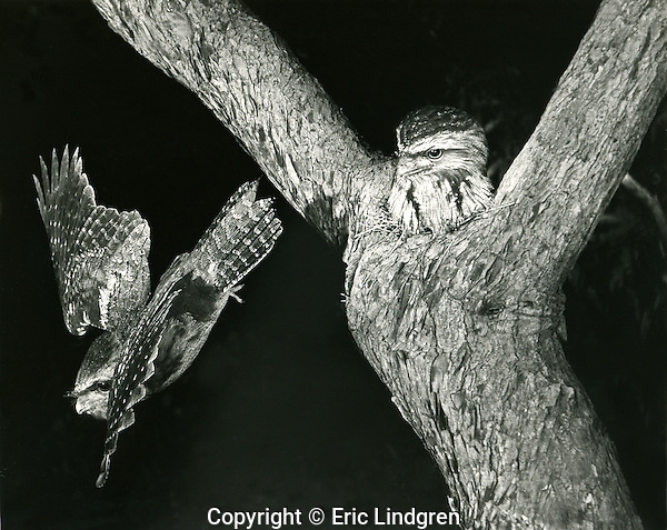 A pair of Tawny Frogmouths at their nest in a Jarrah Tree, Mt Barker Western Australia.  //  Tawny Frogmouth - Podargidae: Podargus strigoides. Length to 45cm, wingspan to NNcm, weight to 700g. A nocturnal species found  Australia-wide, and in southern New Guinea. Mainly insectivorous, but occasionally catches small vertebrates. Feeds principally from a perch waiting for movement on the ground, then flies down to scoop up prey in its wide bill. Pairs for life, and usually uses the same nest-site each year - this pair used the shown nest in both 1957 and 1958 my two years living in Mt Barker. // Jarrah Tree (also known as Swan River Mahogany) - Myrtaceae: Eucalyptus marginata. Height to 40m, DBH 3m, bark fibrous in strips. A heavy dense wood known to resist decomposition for decades. Termite-resistant. Highly prized in cabinet making for its deep red-brown colour and fine grain. Used by aborigines to make shields (=Djarra - from which it takes its name) and weapons (nulla-nulla, boomerang). Flowers provide a clear sweet honey. Endemic to south-west Western Australia. //