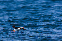 Royaume-Uni, îles Anglo-Normandes, île de Sark (Sercq) : Macareux moine // United Kingdom, Channel Islands, Sark Island (Sercq): Atlantic Puffin