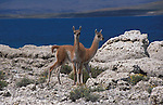 2 young Guanacos known as Chulengos,standing  on calcium formation  close to shore of lake,Torres del Paine National Park,Chile.