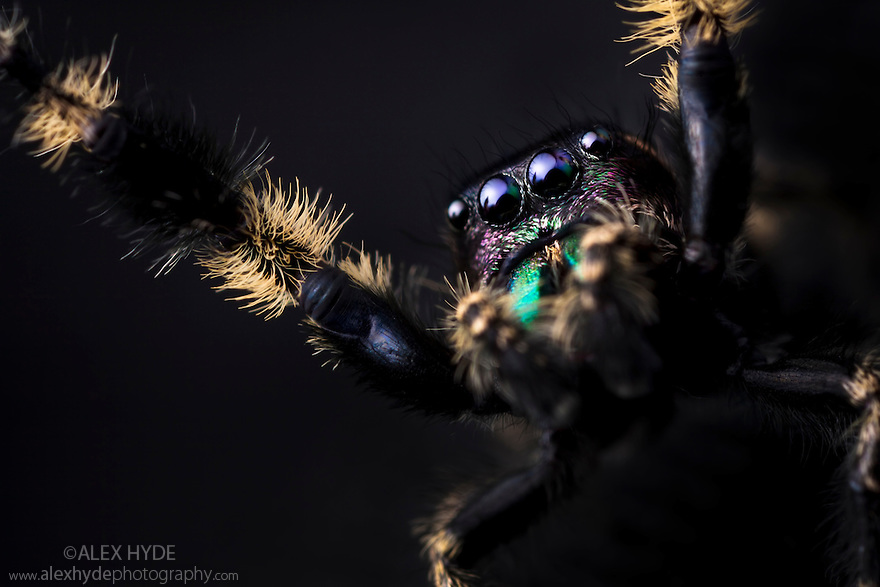 Canopy Jumping Spider male {Phidippus otiosus}, captive, orginating from North America. Size < 1cm
