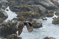 Turkey Vulture (Cathartes aura) flying over Central California Coast.  March.
