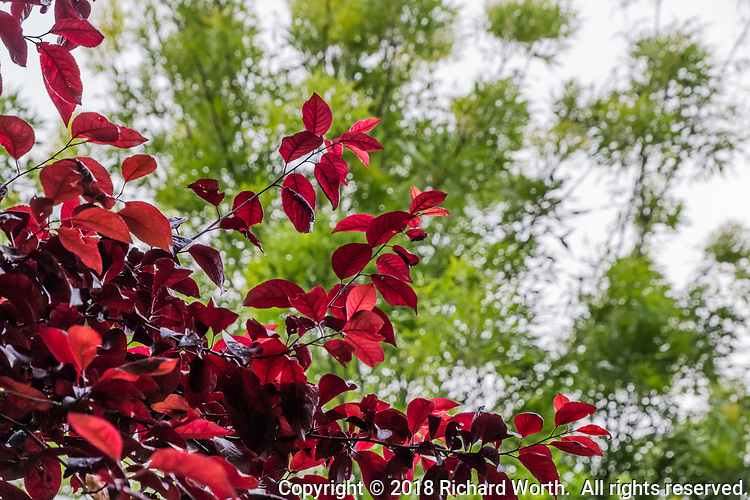 Glowing red leaves of a cherry tree against a soft green background at an urban neighborhood park.