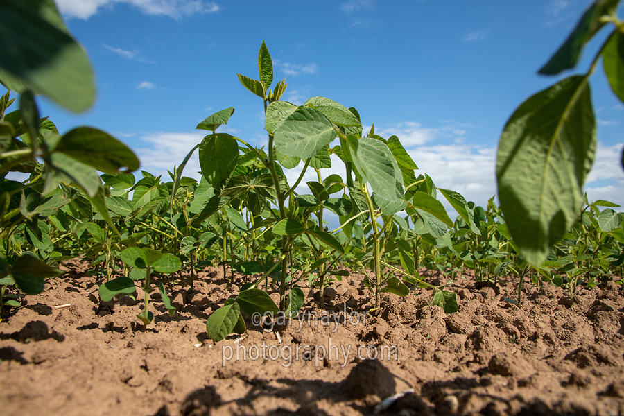 Soya beans - Lincolnshire, July