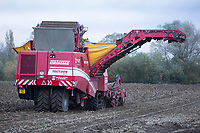 Willow Tree Potatoes Ltd lifting potatoes in the Lincolnshire Fens <br /> &copy;Tim Scrivener Photographer 07850 303986<br />      ....Covering Agriculture In The UK....