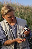 Spornkiebitz, Sporn-Kiebitz, Ornithologin beringt einen gefangenen Altvogel, Farbberingung zur individuellen Markierung, Ornithologie, Forschung, Hoplopterus spinosus, spur-winged plover
