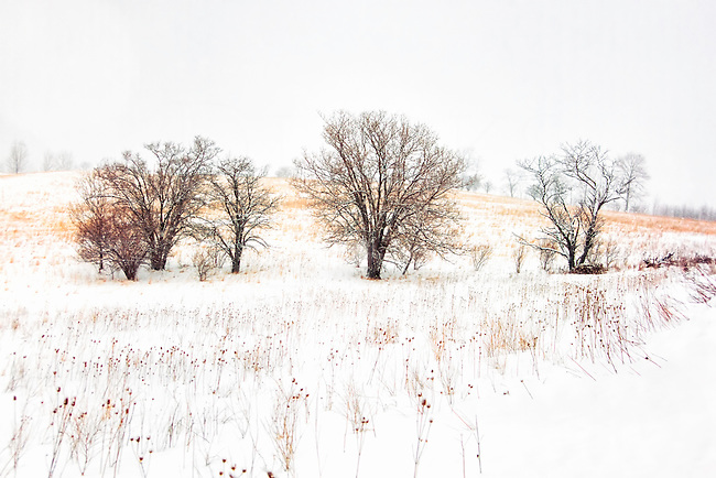 Three bare trees in a snow covered farm field, the rural countryside in scenic Pennsylvania, PA, USA.