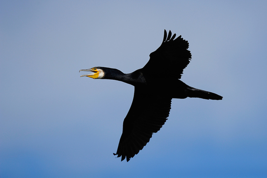 Great cormorant, Phalacrocorax carbo, Danube delta rewilding area, Romania