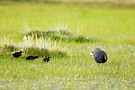Common Gallinule (Gallinula galeata) mother and chicks, Ciudad de Piedra, Andes, western Bolivia