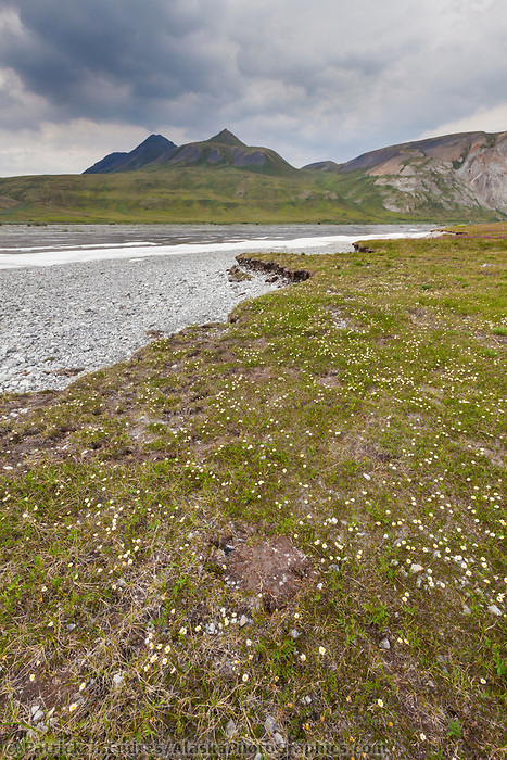 Mountain aven wildflowers and aufies on the Marsh Fork of the Canning river. The river comprises the western border of the Arctic National Wildlife Refuge in the Brooks Range mountains, Alaska.
