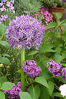 Purple color theme June Garden Flowers Lilacs Syringa vulgaris shrub and ornamental onion Allium for a harmonious flower combination in May and June