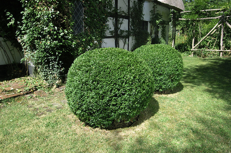 Box Buxus sempervirens Buxaceae Height to 6m <br /> Dense, spreading evergreen shrub. Bark Smooth, grey, breaking into squares with age. Branches Numerous; young twigs green, angular and hairy. Leaves Ovate, to 2.5cm long. Reproductive parts Flowers small, green; males have yellow anthers. Fruit is a greenish capsule, 8mm long, with 3 spreading spines. Status Local native of chalk slopes; also widely planted.
