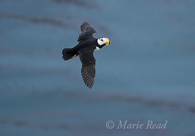 Horned Puffin (Fratercula corniculata) in flight, St. Paul Island, Pribilofs, Alaska, USA