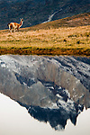 Guanaco and spire reflection, Torres del Paine National Park, Patagonia, Chile,.South America