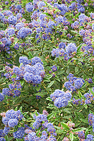Ceanothus Blue Diamond with blue flowers clusters
