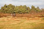 Two people riding horses on heathland, Shottisham, Suffolk, England
