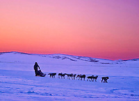 Iditarod musher leading dog team along Bering Sea at sunset near Unalakleet, Alaska