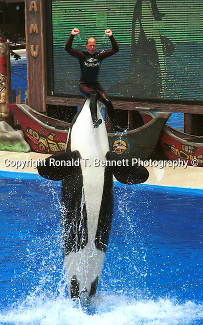 Killer Whale, Orca, Blackfish largest species of the dolphin family, Orca found in worlds ocean arctic and Antarctic regions, apex predator, marine mammals,  dorsal fin, saddle patch,  California Fine Art Photography by Ron Bennett,
