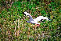 Bird watching along Alligator Alley, Big Cypress Preserve, Southwest Florida.