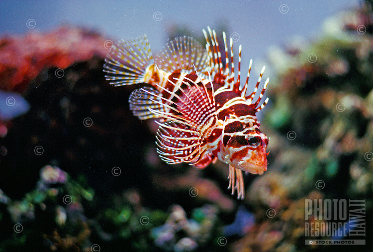 Hawaiian Lionfish (Pterois sphex) swimming in the Waikiki aquarium.