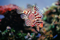 Hawaiian Lionfish (Pterois sphex) swimming in the Waikiki aquarium.
