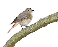 Redstart - Phoenicurus phoenicurus - female. L 14cm. Colourful Robin-sized bird. Dark-centred red tail is pumped up and down when perched. Sexes are dissimilar. Adult male has grey back, nape and crown, black face and throat, and orange-red underparts (most colourful on breast). Note white forehead and supercilium. Adult female has grey-brown upperparts and head, and orange wash to pale underparts. 1st winter birds recall respective adult plumages but feathers have pale margins. Voice Utters a soft huiit call. Song is tuneful but melancholy. Status Locally common summer visitor to open woodland with plenty of tree holes for nesting and limited ground cover.