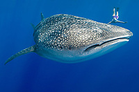 whale shark, Rhincodon typus, and snorkeler, Keauhou, Kona Coast, Big Island, Hawaii, USA, Pacific Ocean
