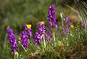 20/05/15<br /> <br /> Stunning early purple orchids bloom in Lathkill Dale in the Derbyshire Peak District near Bakewell. Lathkill Dale is one of the finest limestone dales in the county and the rare flowers are thriving after continued sunshine and showers.<br /> <br /> All Rights Reserved: F Stop Press Ltd. +44(0)1335 418629   www.fstoppress.com.