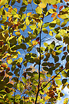 Yellow and green autumn leaves against blue sky