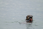 Sea Otter (Enhydra lutris) pup feeding on Fat Inkeeper Worm (Urechis unicinctus) prey, Elkhorn Slough, Monterey Bay, California