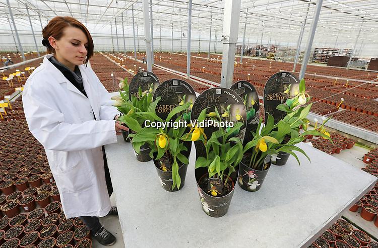 Foto: VidiPhoto..BLEISWIJK - Een medewerkster van kwekerij Anthura BV uit Bleiswijk selecteert enkele 'winterharde' Garden Orchids voor TuinIdee. Deze nieuwe tuinorchidee, die een temperatuur van -20 graden Celsius kan overleven, is één van de tuinprimeurs die genomineerd is voor de TuinIdee 2013 Innovatie Award. De soort beschermt zich door in de winter onder de grond te blijven, zoals ook tulpen en narcissen dat doen. In het voorjaar komen de scheuten boven de grond en zij staan al na 3 à 4 weken in bloei. TuinIdee is het grootste tuinevenement van Nederland en wordt van 21-24 februari gehouden. De consumentenbeurs is met vier hallen en 225 exposanten dit jaar groter dan ooit..