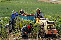Europe/France/89/Yonne/AOC Chablis: Les vendanges de Jean Durup à Maligny