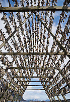 Cod stockfish hang to try in cold winter air on wooden drying rack, Henningsvaer, Lofoten Islands, Norway