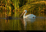 White Pelican and Cormorants at Sunset, American White Pelican, Sepulveda Wildlife Refuge, Southern California